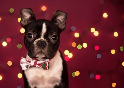 How to photograph dogs with fairy lights