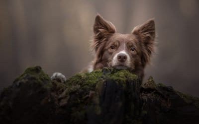 Best Portrait Lens for Dog Photography – The Sigma Art 105 1.4